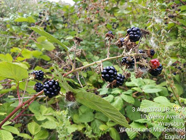 Surrey circumnavigation Blackberry picking